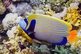 Emperor Angelfish Prints by Georgette Douwma