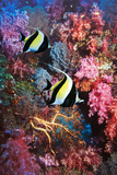 Moorish Idols Photographic Print by Georgette Douwma
