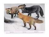 Crossred and Silver Foxes Giclee Print by Louis Agassiz Fuertes