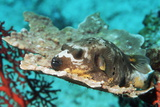 Blackspotted Pufferfish Photographic Print by Georgette Douwma