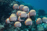 Redtail Butterflyfish Over a Reef Prints by Georgette Douwma
