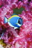 Powder Blue Surgeonfish Reproduction photographique par Georgette Douwma
