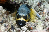 Blackspotted Puffer Prints by Georgette Douwma