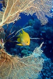Golden Damselfish Prints by Georgette Douwma