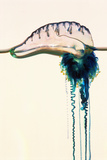 Portuguese Man-of-war Photographic Print by Georgette Douwma