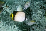 Indian Vagabond Butterflyfish on a Reef Posters by Georgette Douwma
