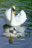 Mute Swan And Cygnets Posters by Georgette Douwma