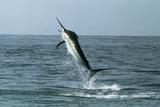 Black Marlin Reproduction photographique par Georgette Douwma
