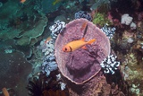 Blotcheye Soldierfish on a Reef Photographic Print by Georgette Douwma