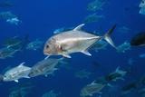 Giant Trevally Fish Reproduction photographique par Georgette Douwma