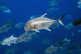 Giant Trevally Fish Posters by Georgette Douwma