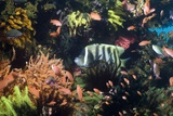 Six-banded Angelfish Prints by Georgette Douwma