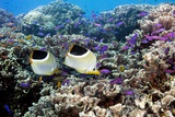 Butterflyfish And Purple Anthias Fish Posters by Georgette Douwma