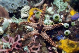 Starfish And Sea Squirts on a Reef Prints by Georgette Douwma