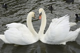 Mute Swans Courting Photo by Georgette Douwma