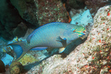 Queen Parrotfish Posters by Georgette Douwma