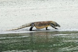Komodo Dragon on a Beach Papier Photo par Georgette Douwma