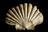 Scallop Shell Photographic Print by Mauro Fermariello
