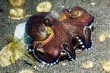 Veined Octopus Feeding Fotoprint van Georgette Douwma