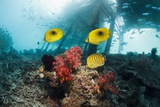 Butterflyfish Over a Reef Photographie par Georgette Douwma