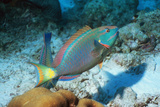 Stoplight Parrotfish Photographic Print by Georgette Douwma