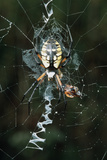 Golden Orb Weaver Spider Posters by Georgette Douwma