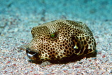 Starry Pufferfish Photographic Print by Georgette Douwma