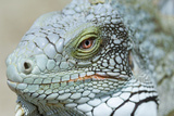 Head of a Green Iguana Poster by Georgette Douwma