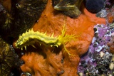 Yellow Sea Cucumber Photographic Print by Georgette Douwma