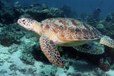 Green Turtle Prints by Georgette Douwma