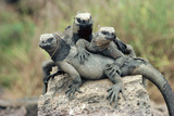 Marine Iguanas Photographic Print by Georgette Douwma