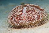 Sea Urchin Posters by Georgette Douwma