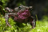 Poisonous Toad Photo by Angel Fitor