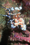 Harlequin Shrimp Photographic Print by Georgette Douwma