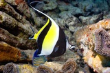Moorish Idol Photographic Print by Georgette Douwma