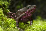 Poisonous Toad Photographic Print by Angel Fitor