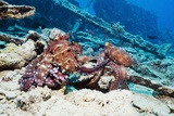 Mating Pair of Day Octopuses Poster by Georgette Douwma