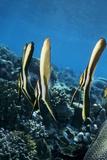 Longfin Batfish Photographic Print by Georgette Douwma