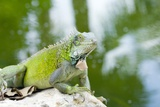 Green Iguana Prints by Georgette Douwma