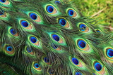 Plumes de paon Reproduction photographique par Georgette Douwma