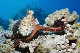 Day Octopus on a Reef Fotoprint van Georgette Douwma