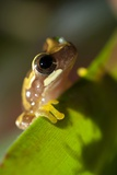 Hourglass Treefrog on a Leaf Photographic Print by Angel Fitor
