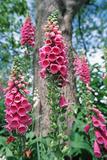 Foxglove Flowers Posters by Georgette Douwma