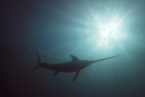 Swordfish Swimming Photographic Print by Angel Fitor