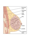 Breast Anatomy, Artwork Photographic Print by Peter Gardiner