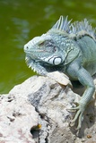 Iguane vert Papier Photo par Georgette Douwma