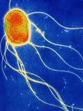 Salmonella Enteritidis Bacterium Photographic Print by A.B. Dowsett