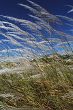 Pampas Grass Photographic Print by Peter Falkner