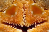 Brittle Star Mouth Posters by Angel Fitor