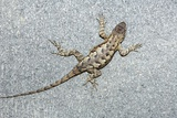 Eastern Fence Lizard Poster by Georgette Douwma